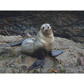 California Sea Lion - note: this shot was in the wild, not in a zoo. Photo taken today, December ...