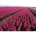 flowerfields lisse holland