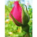 Pink rose bud corall New Dawn July 2010 Skane Sweden My Garden