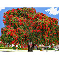 Landscape Trees Bottlebrush