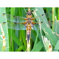 broad bodied dragonfly insect nature