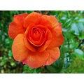 Aprikola Rose Skane Sweden 2013 Bloom Orange Red 4thJuly