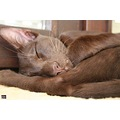 oriental cat havana siamese sleeping
