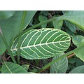 Brasil S Paulo Ubatuba Macro leaves green and yelow
