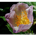 Dog rose Please enlarge