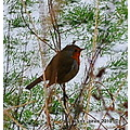 wild bird robin winter