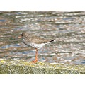 bird tureluur redshank