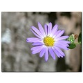 aster wildflower purple nature