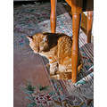 josefina orange cat light orangecat milibuhscatclub sunlight joeyfph rug