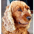 Dog Cocker spaniel