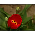 nature flowers red tulips closeup macro dof