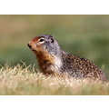 columbian ground squirrel Manning BC Park Canada