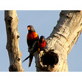 birds rainbow lorikeets 28s perth littleollie