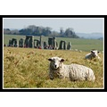 sheep wiltshire animal stonehenge somersetdreams