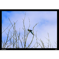 Nature Bird Magpie Summer 2006