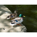 duck drake canal