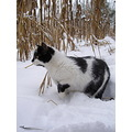 hunt cat animal snow winter