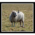 sheep animal starling bird nature carry wiltshire stonehenge somersetdreams