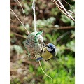 bluetit bird feeding feathers nature wildbird gardenbird