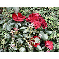 redflowers flowers red leiden holland jeever jolie