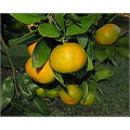 It's the time of the year when green turns to yellows, oranges and reds.  In the Northern lattitu...