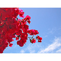 bougainvillea bluesky sky clouds red redfph