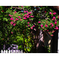 texas summer crepe myrtle