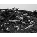 smardale cumbria sheep