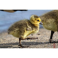 Burnaby Lake Canada Goose Goslings