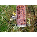 siskin finch bird garden wildlife scotland