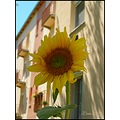 flower sunflower
