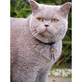 brititsh shorthair cat feline female animal pet family