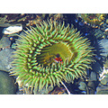 Giant Green Anemone, Jan 15, 2008