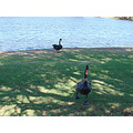 black swans bird river perth littleollie