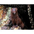 mink winter alaska
