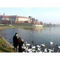swans of the castle Wawel