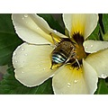 blue banded bee insect flower white nectar padlex