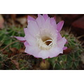 flower nature cacti