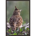 A Crested Lark gazing towards the new year...