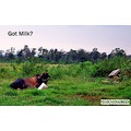 cow grass green field sky animal tame nature nikond60