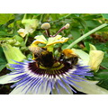 two bees passion flower