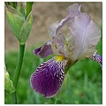 iris flower purple