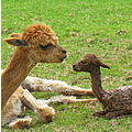 mother child alpaca neighbor