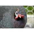 guineafowl bird amusing odd