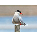 Common Tern Sterna hirundo