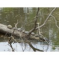 turtles log waterway wildlike park Dausette Trails
