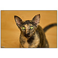 oriental cat cats pet pets siamese sphynx siam cattery