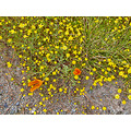 serpentinefph wildflowers spring meadow goldfields poppies