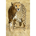 Cheetah cat wild animals