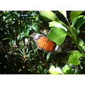 compftorange macro shot orange butterfly in front of green foliage
